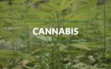 Busi Taki Special: Cannabis